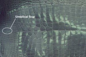 Alligatorumbilical