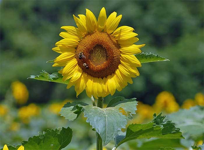 Sunflower02blog